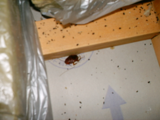 ゴキブリ ふん 壁